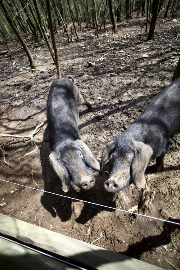 Cerdo Astur