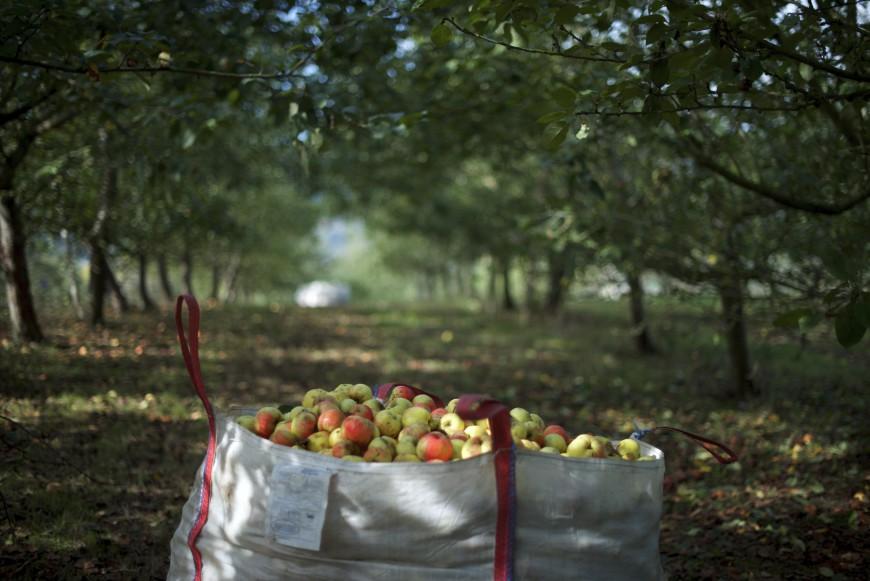 Manzanas de sidra