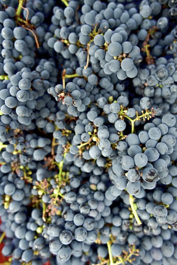 Uvas en Cangas del Narcea